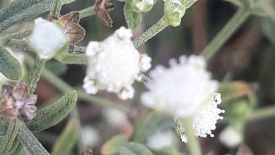 Photo of گاجر بوٹی کیا ہے اور یہ فصلوں اور انسانوں کو کیسے نقصان پہنچاتا ہے؟